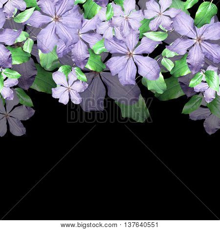 Delicate floral background of purple clematis isolated