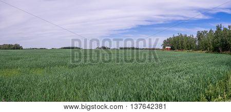 Panorama of a grain field in Saskatchewan, Canada.