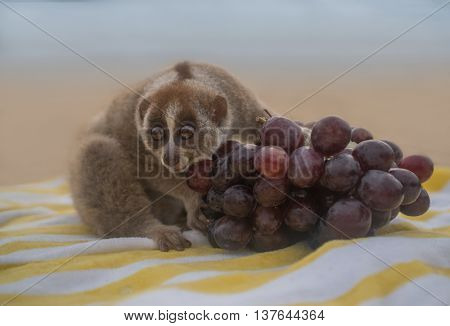 Slow loris monkey sitting on the towel with grapes isolated on the beach.