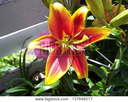 Hybrid Asiatic lily portrait in the flowerbed
