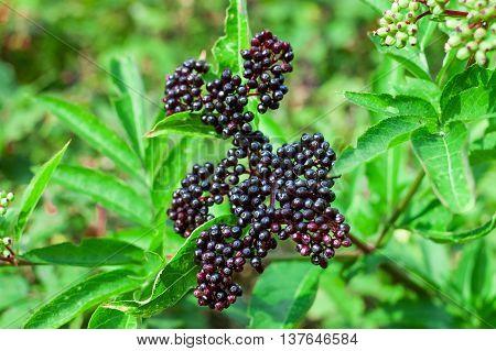 Sambucus Berries Closeup Photo