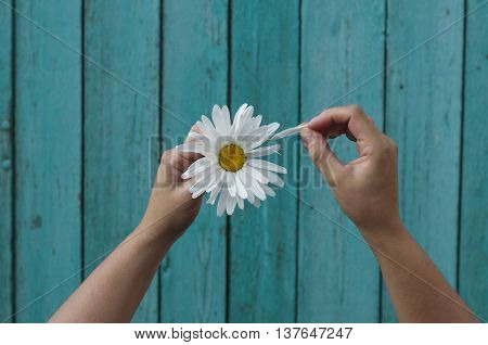 Two human hands tears off petals at a camomile on a background of pink wooden table top view