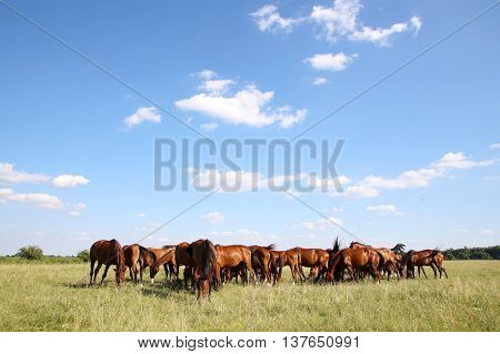 Mares and foals graze on green grass rural scene in the background