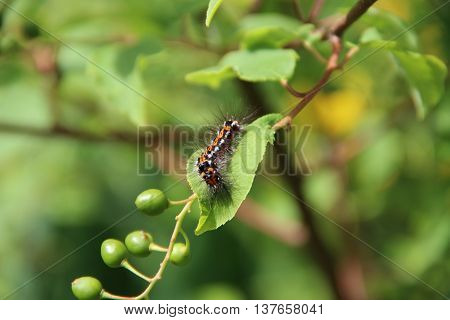 Beautiful green caterpillar creeps on a green plant