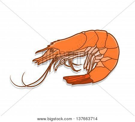 Shrimp, a hand drawn vector illustration of a shrimp.