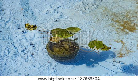 Floating Lilly In Water