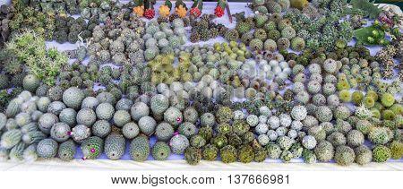 Cactus Bulbs On Sale