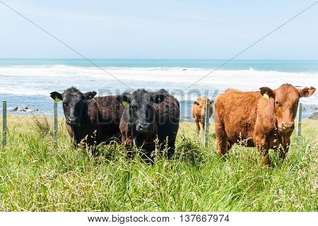 Diverstiy in Cattle in coastal paddock red and black.