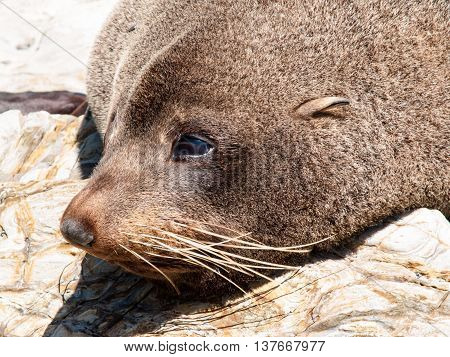 Closeup head shot New Zealand Fur seal basking in warmth on rocky coastline ledge.