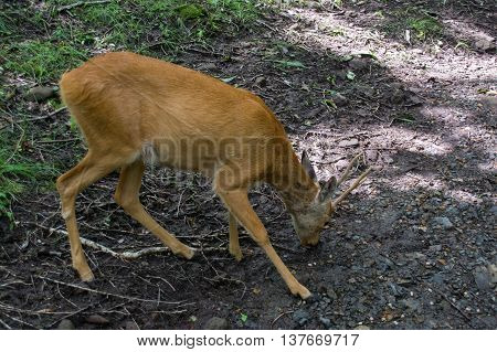 Deer looking for food on the wet ground after rain