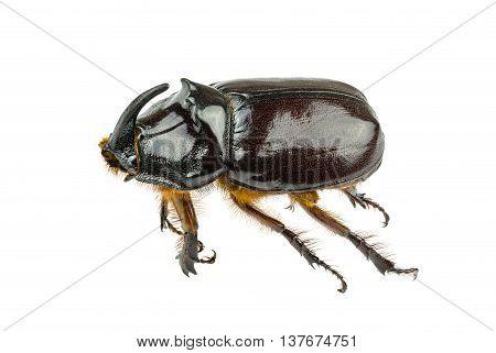 Large Brown Beetle.