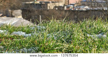 Little green grass makes its way through the remnants of snow in early spring
