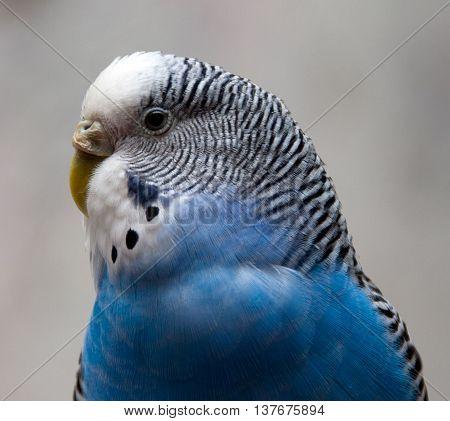 Close portrait of budgerigar blue shape, gosha