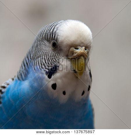 Close portrait en face of budgerigar blue , gosha
