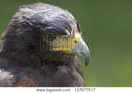 Harris Hawk close up showing detail of head