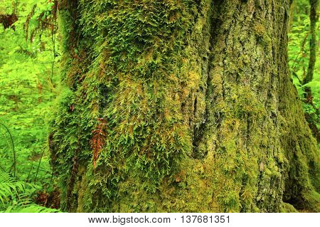 a picture of an exterior Pacific Northwest old growth Vine maple tree trunk with moss