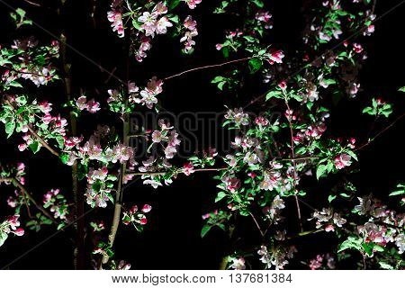 Bloom Tree on Black Background. Apple Tree With Pink and Magenta Flower in the Evening. Night Landscape. Young Blossom Tree in Spring Garden at Night