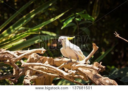 Beautiful white Cockatoo (Sulphur-crested Cockatoo) is sitting on the branch
