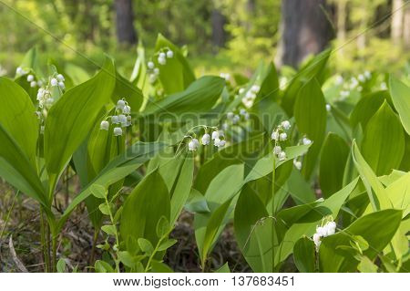 Blooming lilies of the valley in sunny pine forest