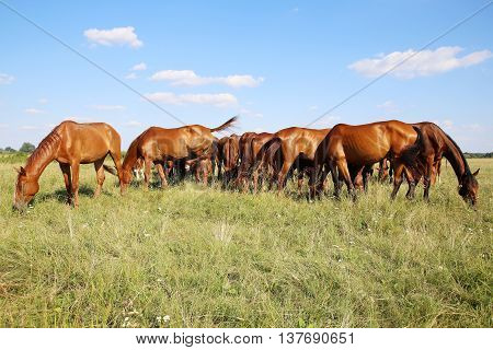 Beautiful purebred chestnut horses grazing on pasture summertime against blue sky