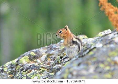 golden-mantled ground squirrel is a type of ground squirrel found in mountainous areas North America
