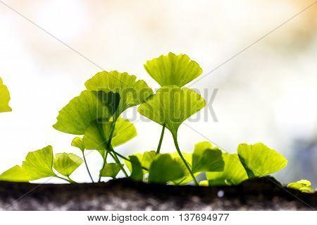 green Ginkgo biloba leaf outside plant tree