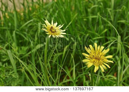 Tragopogon orientalis. Yellow flowers in a meadow salsify east.