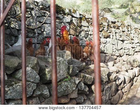 Roosters and chickens in Spain in natural coop