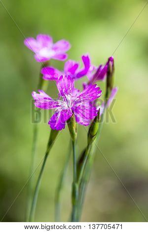 Wild flower Dianthus deltoides (Lat. Dianthus deltoides L). Close-up