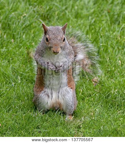 The eastern gray squirrel or grey squirrel, depending on region, is a tree squirrel in the genus Sciurus