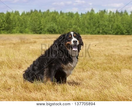 Bernese Mountain Dog (Berner Sennenhund) sitting in the middle of a green lawn on a sunny summer day