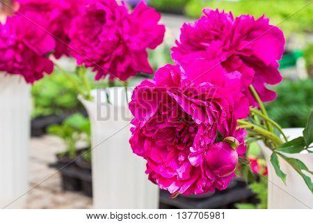 Closeup of a Beautiful Crimson peonies flowers