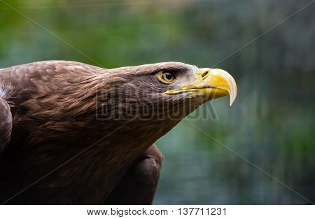 Head of a bald eagle close up