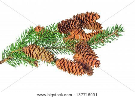 beautiful Christmas decoration of fir tree branch with cone is isolated on white background close up