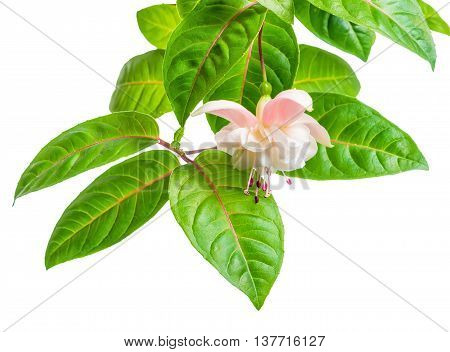 Blooming Beautiful Branch In Shades Of White And Gentle Pink Fuchsia Flower With Leaves Is Isolated