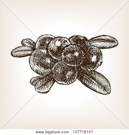 Cranberry berry fruit sketch style vector illustration. Old engraving imitation.
