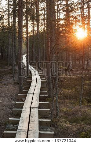 Long timber boardwalk in pine tree forest at sunset in summer