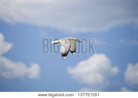 White seagull on blue sky. Bottom view