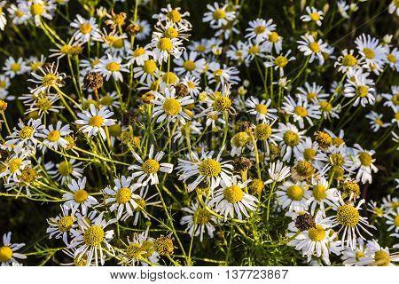 Tripleurospermum Indorum, Scentless False Mayweed, Scentless Mayweed, Scentless Chamomile, Wild Cham