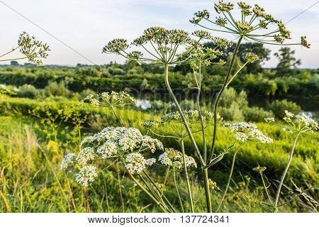 Heracleum Sphondylium, Hogweed, Common Hogweed, Cow Parsnip.