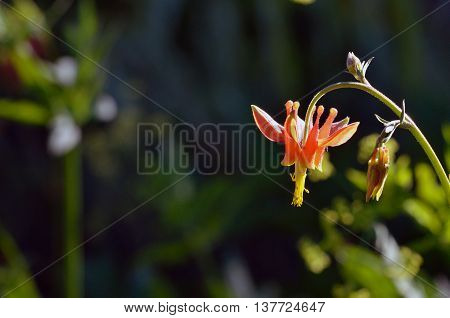 Crimson Columbine wildflower in Carson Pass area