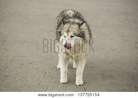 dog siberian hasky on winter animal  canine