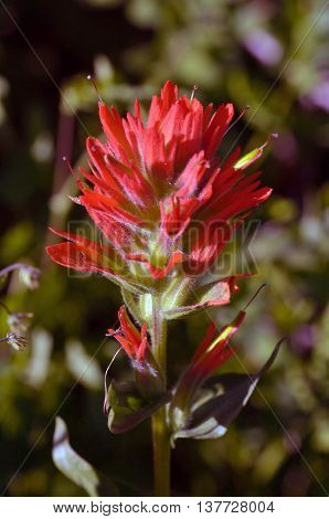 Red Paintbrush flowering in Carson Pass Wilderness