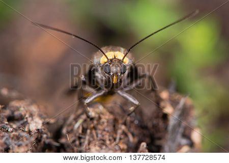 Red-necked footman (Atolmis rubricollis) head on. Locally distributed woodland species in the family Erebidae family Arctiinae