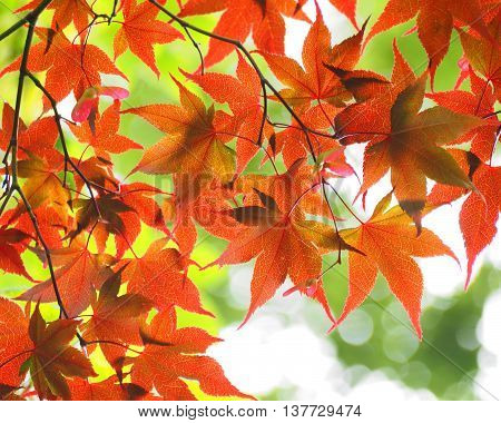 Japanese maple tree branches with red leaves