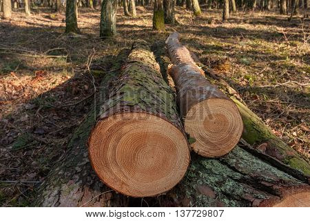 Cut trees in the forest. visible tree rings