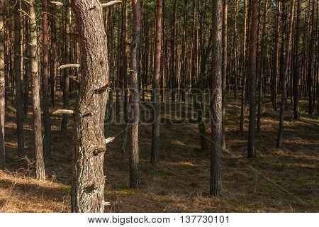 Pine trunks in a forest. On the right side of the trunk is space for text.