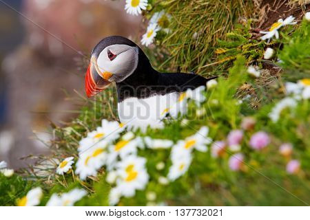 Cute Atlantic puffin in Iceland in flowers