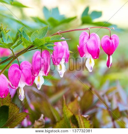 Bleeding heart flowers (Dicentra spectabils) in spring garden. selective focus