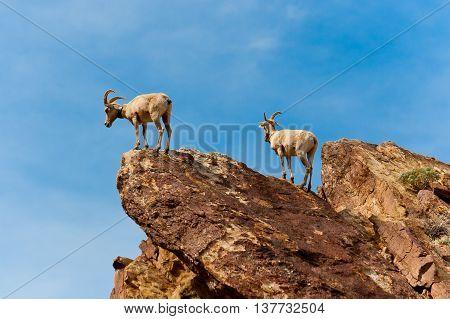 Desert Bighorn Sheeps in Anza Borrego Desert State Park. California USA